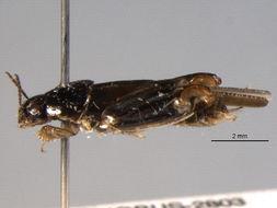 Image of <i>Neotridactylus apicaulis</i>