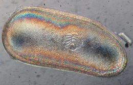 Image of Darwinulidae