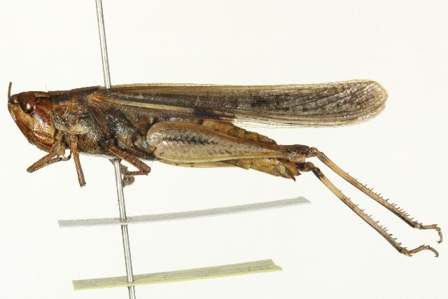 Image of <i>Aiolopus thalassinus</i> (Fabricius 1781)