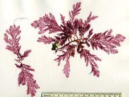 Image of <i>Plocamium mertensii</i>