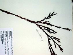 Image of <i>Curdiea</i>