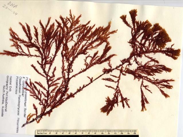 Image of <i>Plocamium preissianum</i>