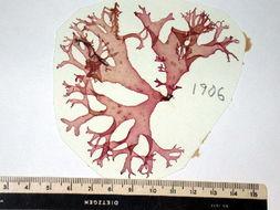 Image of <i>Polycoelia laciniata</i>