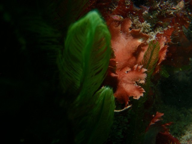 Image of Haloplegma