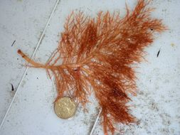 Image of <i>Mychodea perplexa</i>