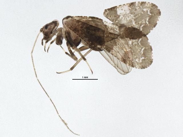 Image of Lichenomima