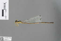 Image of Papuagrion Ris 1913