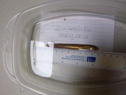 Image of Striped Cusk-eel