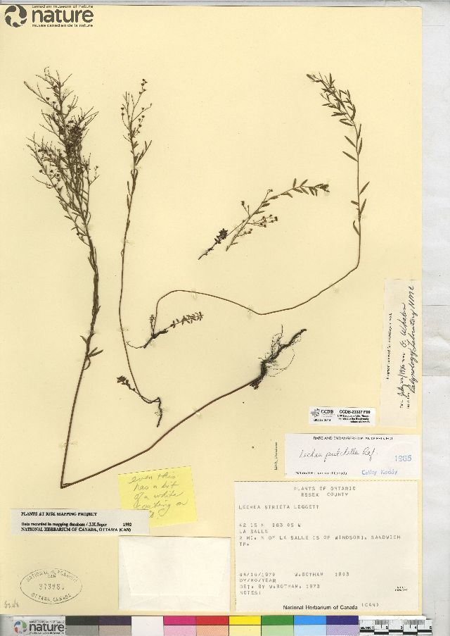 Image of Leggett's pinweed