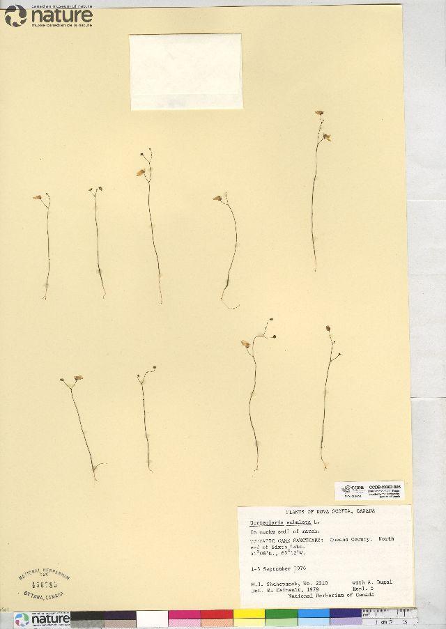 Image of zigzag bladderwort
