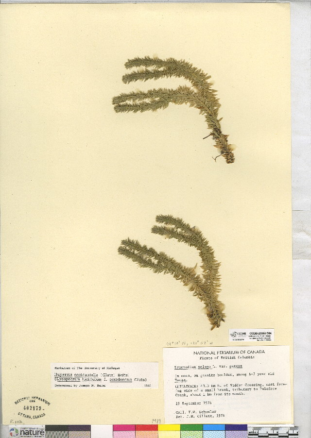 Image of western clubmoss