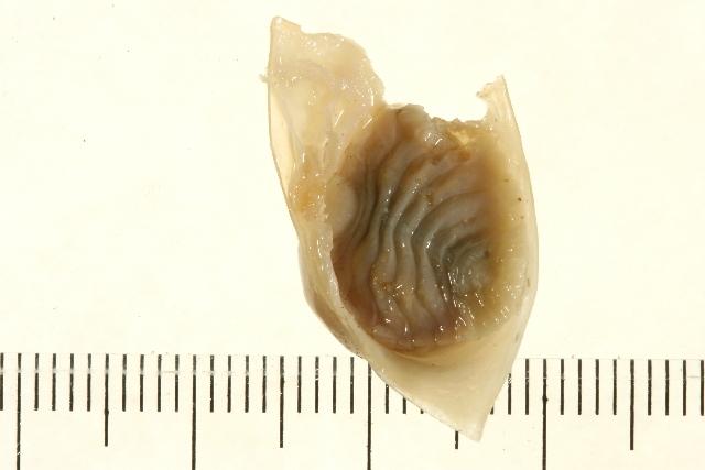 Image of <i>Bopyroides hippolytes</i> (Kröyer 1838)