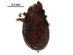 Image of Scutovertex