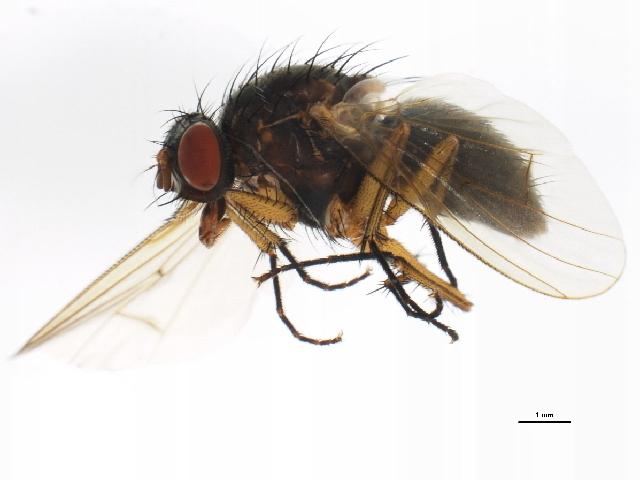 Image of <i>Helina depuncta</i> (Fallen 1825)