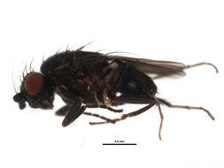 Image of Rachispoda