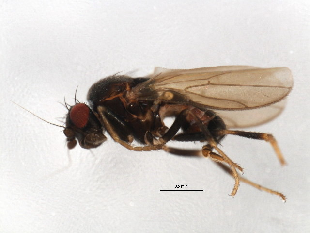 Image of Spelobia