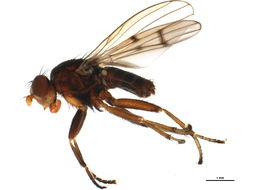 Image of Pherbellia