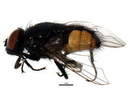 Image of Face Fly