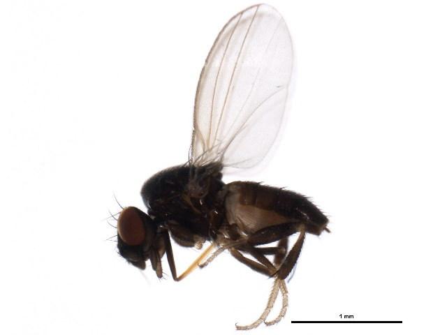 Image of Paramyia