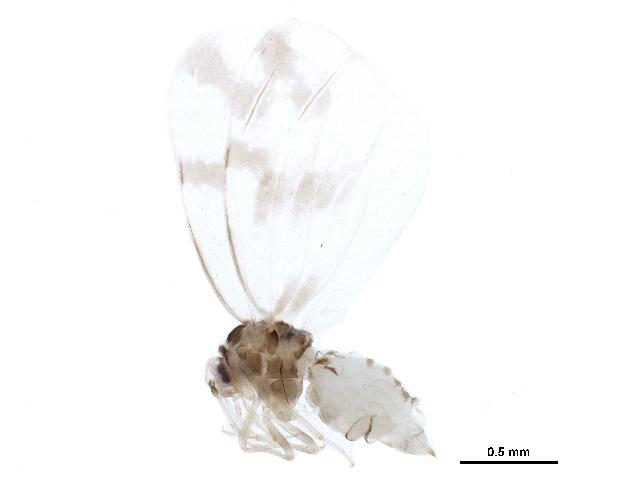 Image of Rugose spiraling whitefly