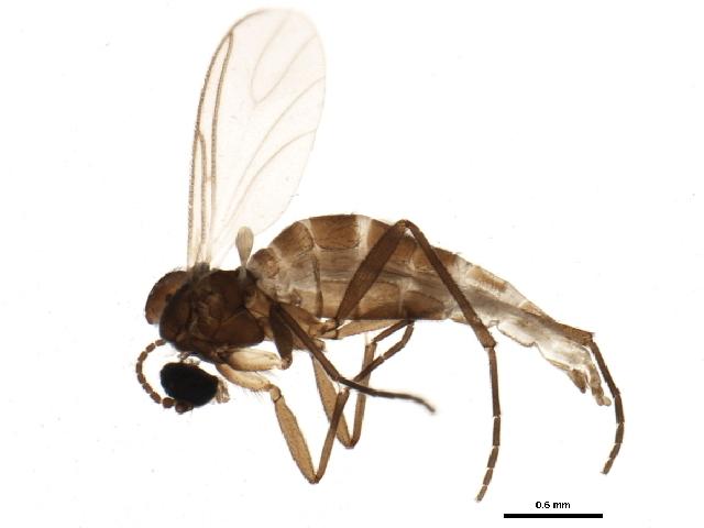 Image of <i>Bradysia lembkei</i> Mohrig & Menzel 1990