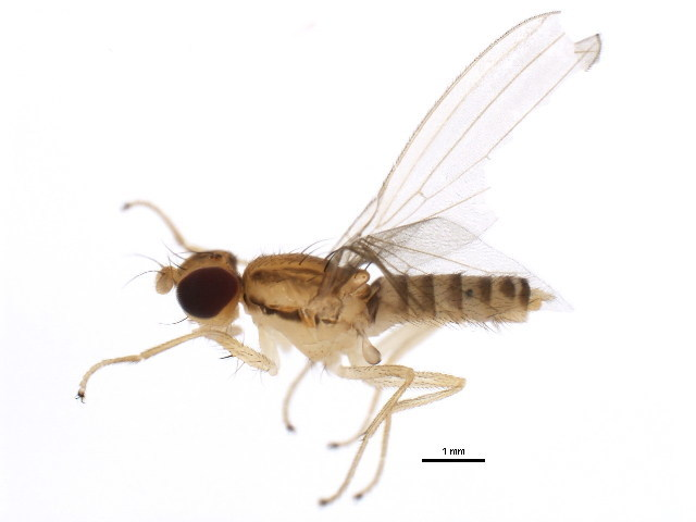 Image of Anthomyzinae