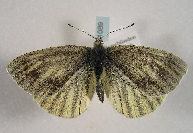 Image of <i>Pieris bryoniae</i> (Hübner (1806))