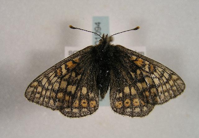 Image of <i>Euphydryas aurinia debilis</i>