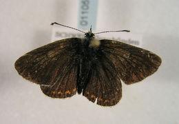 Image of <i>Aricia artaxerxes</i>