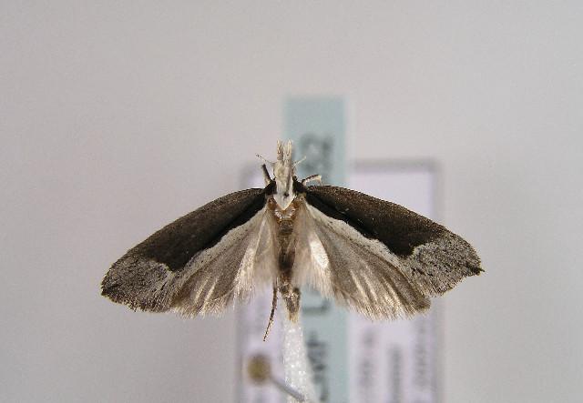 Image of <i>Ypsolopha leuconotella</i> (Snellen 1884) Snellen 1884