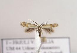Image of <i>Elachista morandinii</i> Huemer & Kaila 2003