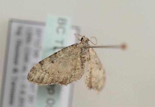 Image of <i>Eupithecia fuscicostata</i> Christoph 1887