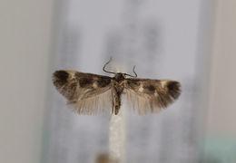 Image of <i>Stephensia abbreviatella</i>
