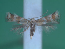 Image of <i>Elachista agelensis</i> Traugott-Olsen 1996