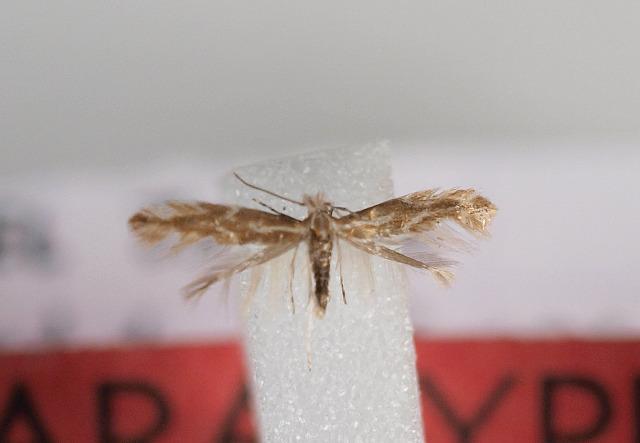 Image of <i>Phyllonorycter argyrolobiella</i> Nel 2009