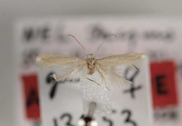 Image of <i>Elachista anserinelloides</i> Nel 2003