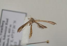 Image of <i>Stenoptilia mariaeluisae</i>