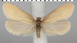 Image of <i>Taleporia politella</i> Ochsenheimer 1816