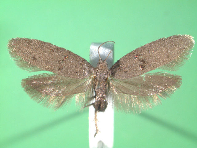 Image of <i>Wockia asperipunctella</i> Bruand 1850