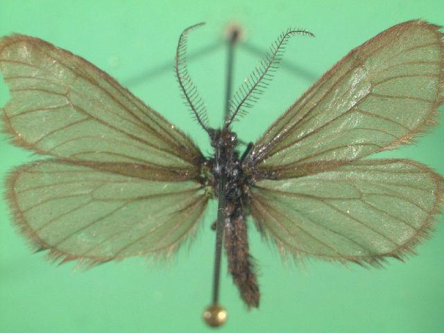 Image of <i>Heterogynis penella</i> Hübner 1818