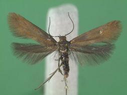 Image of <i>Phaulernis statariella</i> Heyden 1863