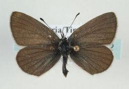 Image of <i>Cupido minimus</i> (Füssly 1775)