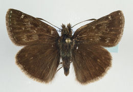 Image of Dingy Skipper