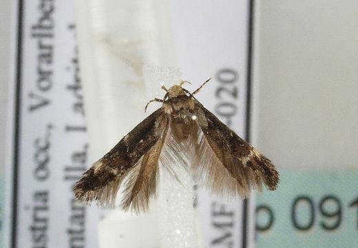Image of <i>Mompha lacteella</i> Stephens
