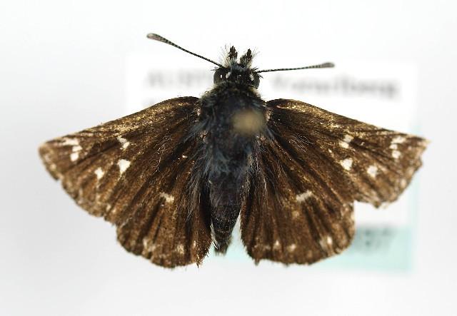 Image of <i>Spialia sertorius</i> Hoffmansegg 1804