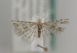 Image of <i>Alucita desmodactyla</i> Zeller 1847