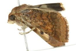 Image of <i>Helicoverpa armigera</i> Hübner 1827
