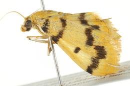 Image of <i>Dichocrocis clytusalis</i>