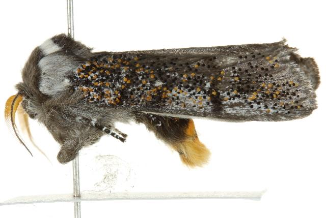 Image of <i>Oenosandra boisduvalii</i>