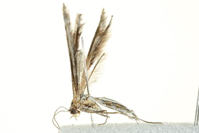 Image of <i>Stangeia xerodes</i> (Meyrick 1886)